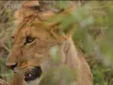 Lion cub vs buffalo herd - BBC wildlife