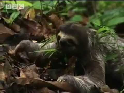 What really killed the sloth? Part 1 - Amazon Assassin - BBC wildlife