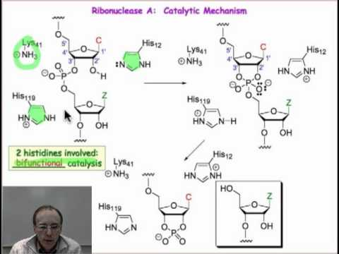 Enzymatic Hydrolysis of Phosphodiesters
