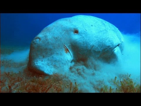 What in the World is a Dugong?