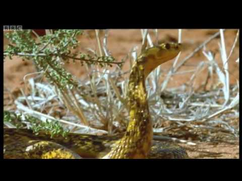 Ground Squirrels tease a Cape Cobra - Wild Africa - BBC