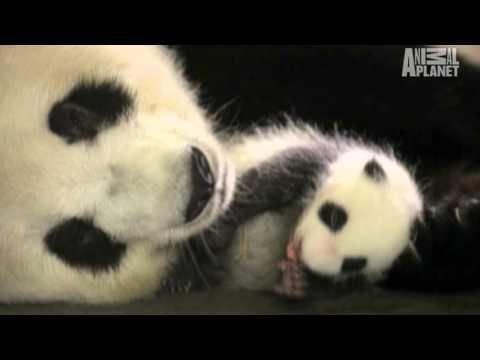 Wild Kingdom: PANDA! PANDA! PANDA!