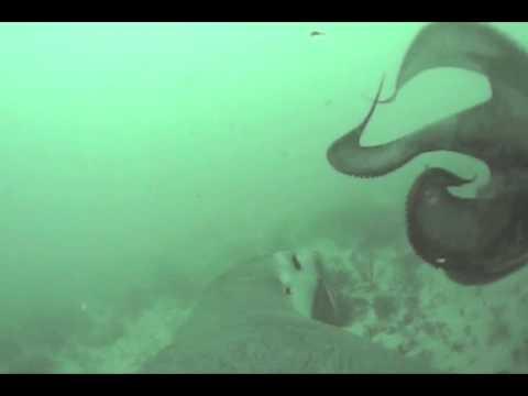 Sea Lion Attacks Octopus: An Epic Battle