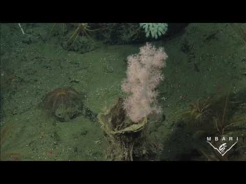 New species of deep-sea coral - Gersemia juliepackardae