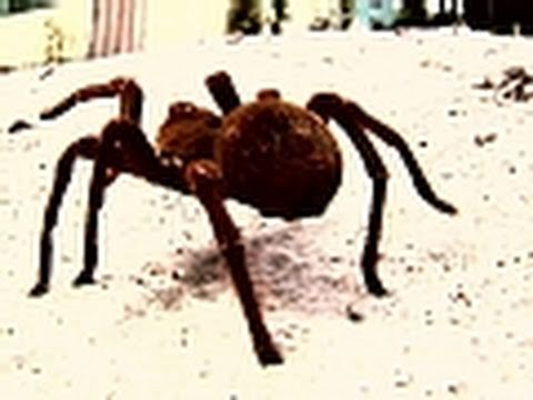 Giant Jungle Spider