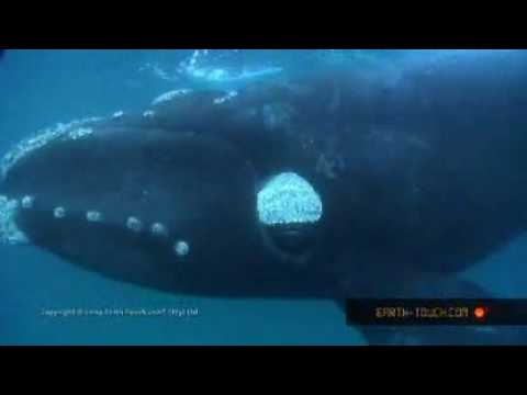 Fear factor! Swimming with whales & great white sharks