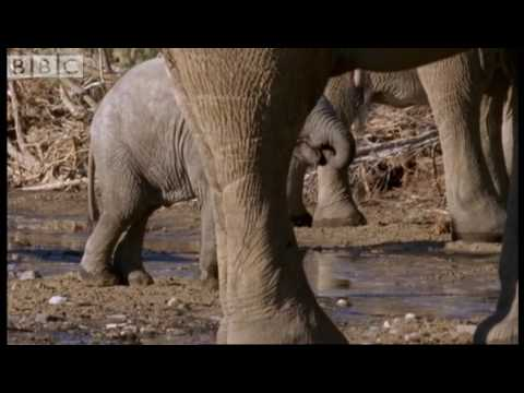 Elephant babies learning to drink - BBC animals