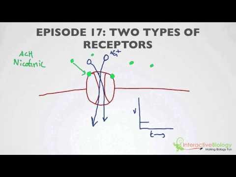 017 Two Types of Receptors