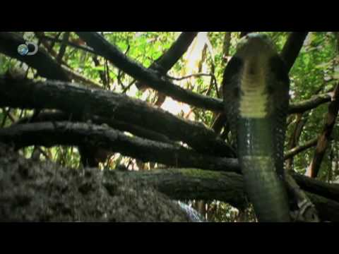 Man vs. Wild - Vietnam - Spitting Cobra