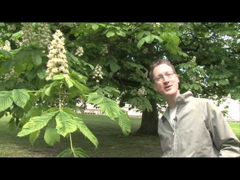 The Conker Tree (Horse Chestnut)