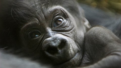 Brand new Cute Baby Gorilla!
