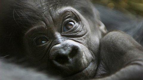 Brand new Cute Baby Gorilla!