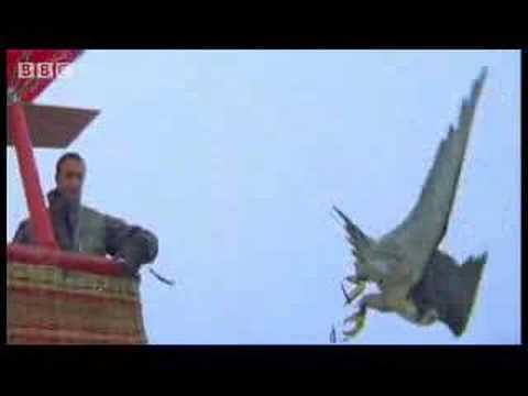 Birds - peregrine falcon dives at 180 mph - Ultimate Killers - BBC wildlife