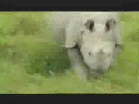 NATURE | Rhinoceros | Charge of the Indian Rhino | PBS
