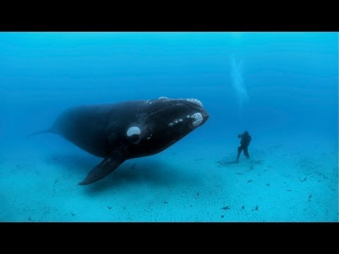 National Geographic Live! - Diving with Whales