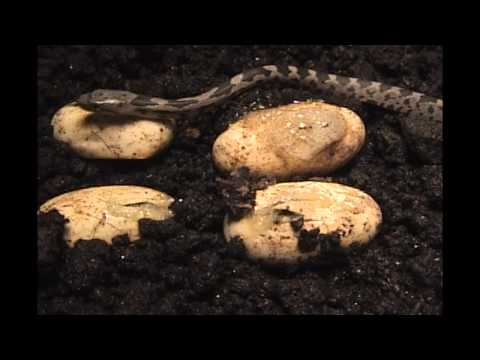 These are NOT Copperheads!