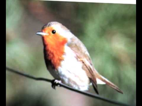 THE ROBIN- birdsong - AV
