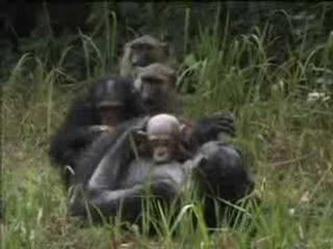 Disease comes to chimpanzees as nature conservation arrives in the jungle - BBC wildlife