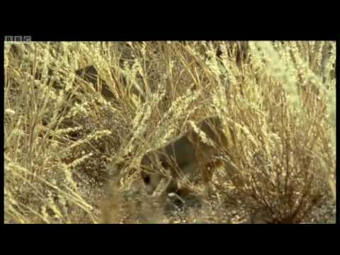 Kalahari desert Meerkats - Wild Africa - BBC