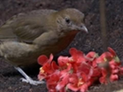 LIFE - Vogelkop Bowerbirds Display Treasures | Birds