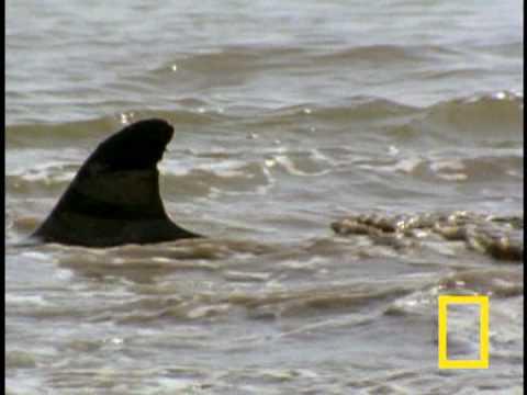 Bottlenose Hunt on Sandy Shore