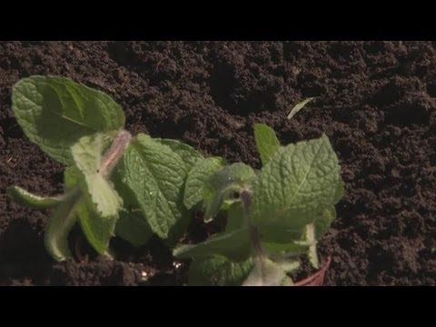 How To Grow Your Own Mint
