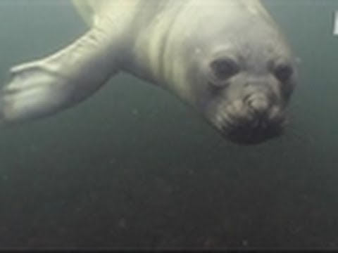 Diver Plays with Seal Pup | Wild Kingdom