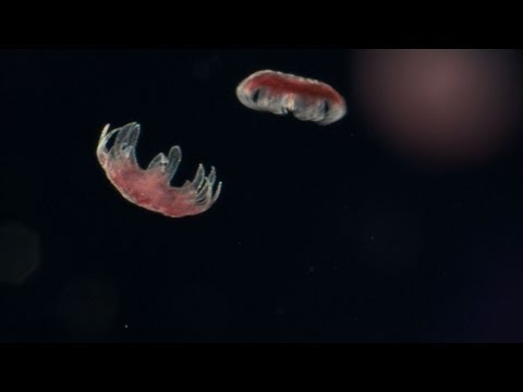 Untamed Americas - Sea Nettle Jellyfish Birth