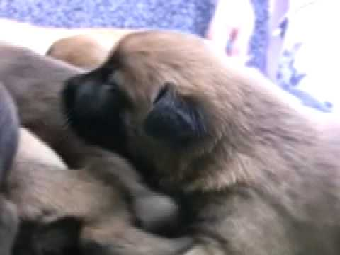 Creating Super Puppies- Early Neurological Stimulation