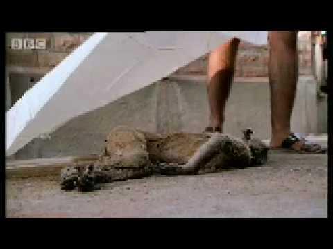 Baby monkey funeral - Monkey Warriors - BBC animals