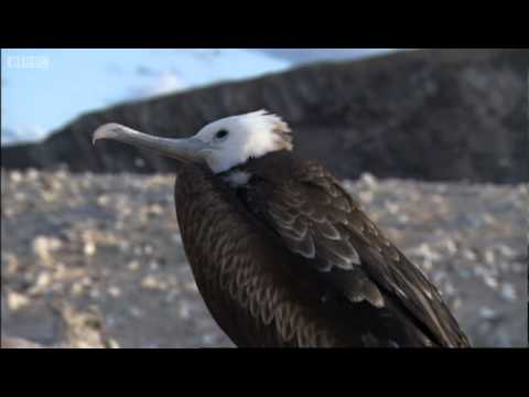 Nesting Frigate Birds and Turtle Babies - Planet Earth - BBC