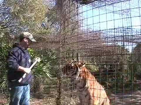 WORKING WITH TIGERS! - Big Cat TV