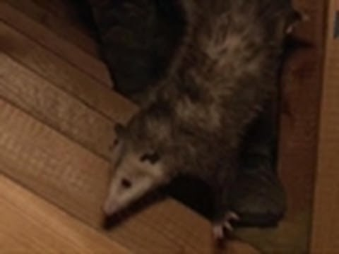 Opossums in the Attic | Call of the Wildman