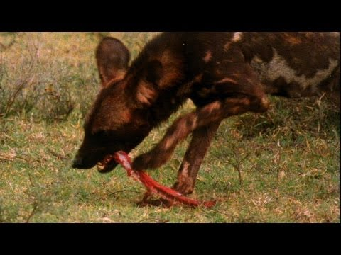 World's Deadliest - Killer Caretakers: Painted Dogs