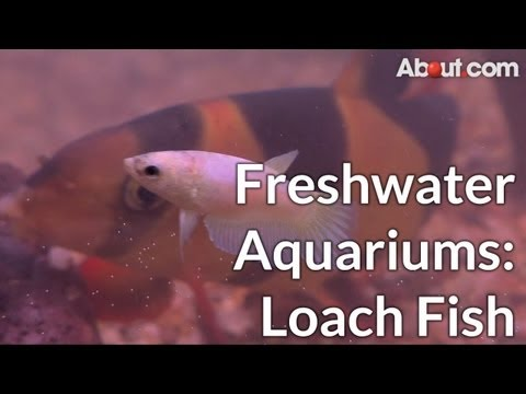 Types of Loach Fish for Fresh Water Aquariums