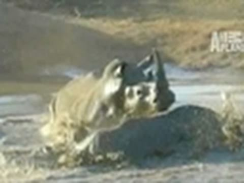 Untamed & Uncut- Baby Wins Rhino Fight