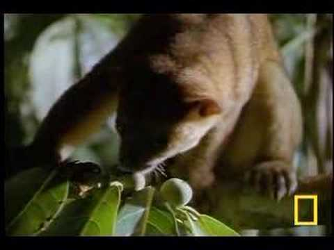 What In the World Is a Kinkajou?