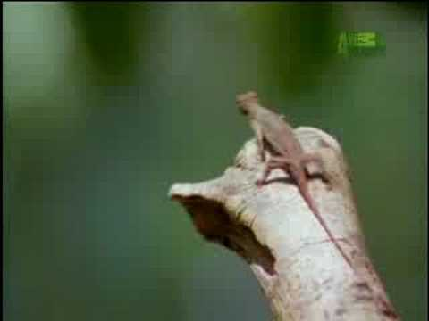 Fooled by Nature - Draco Lizard