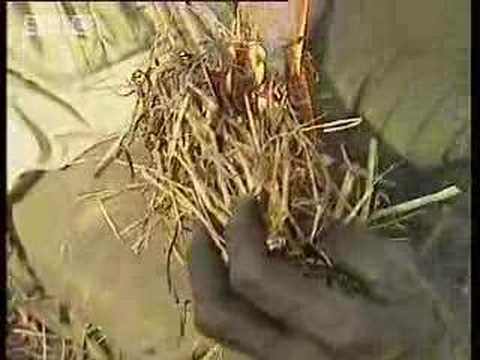 Aboriginal fire starting - Ray Mears Extreme Survival - BBC
