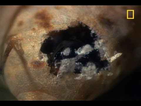 Body-Snatching Wasp Larvae Eat Aphids Alive