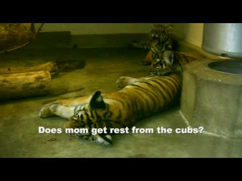 Typical Day of a Tiger Cub