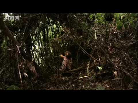 Two silverback gorillas fight in the jungle - BBC wildlife