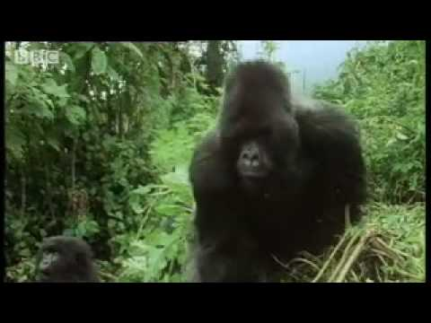 Remembering the first encounter with a silverback gorilla - - Attenborough - BBC wildlife