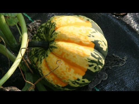 Squash Vine Borer Damage Treatment : GardenFork.TV