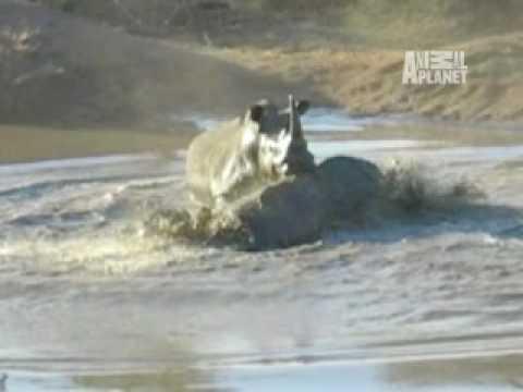 Baby Rhino War