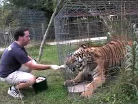 !!!!Tiger Time!!!! - Big Cat Rescue TV
