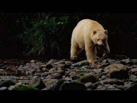 Untamed Americas - Spirit Bear Salmon Feast