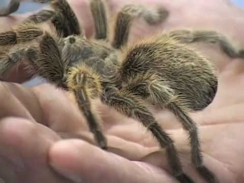 How to Care for a Pet Tarantula