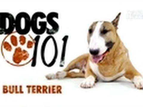 Dogs 101- Bull Terrier