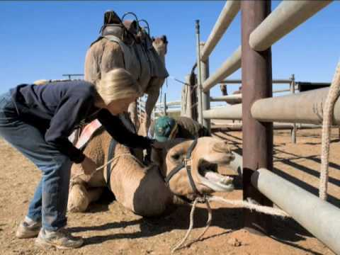 The Boulia Camel Races in Queensland, Australia